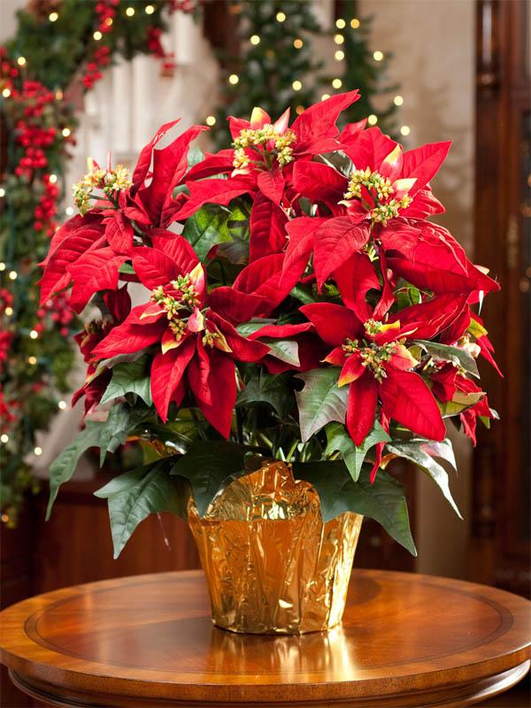 plantas-regalar-navidad-1