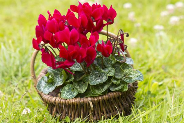 Maravillosas Plantas para Regalar en Navidad ¡Busca las más adecuadas!