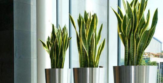 Ideas de Decoración con Planta de Serpiente Suculenta para Tu Hogar